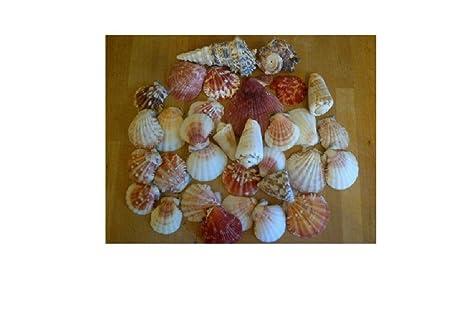 assorted seashells set of 2 bags 600g nautical sea shell seaside