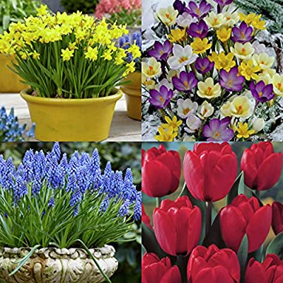 Van Zyverden Spring Time Favorites Bulb Collection Set of 75 bulbs