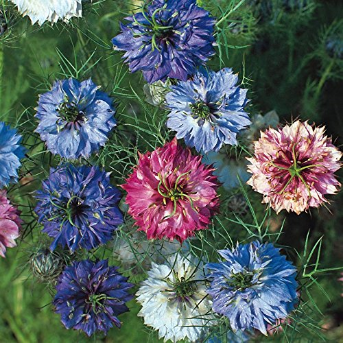 Love in a Mist Seeds - Miss Jekyll Double Mix - Packet, Mixed Color Blooms, Flower Seeds Love Blooms Seed Packets