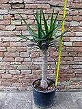 Yucca elephantipes, tronchetto della felicità 90 cm, cactus, pianta grassa