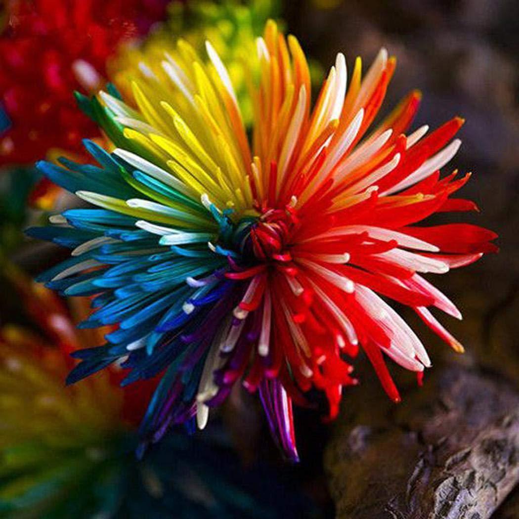 20pcs Regenbogen Chrysantheme Blumen Samen ungewöhnliche Bunt Garden