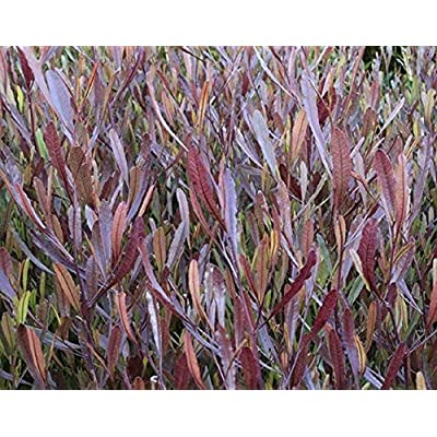 20 Seeds Dodonaea Viscosa Purpurea Purple Hopseed Bush Shrub Garden tkgre : Garden & Outdoor