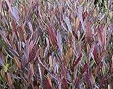 20 Seeds Dodonaea Viscosa Purpurea Purple Hopseed Bush Shrub Garden tkgre