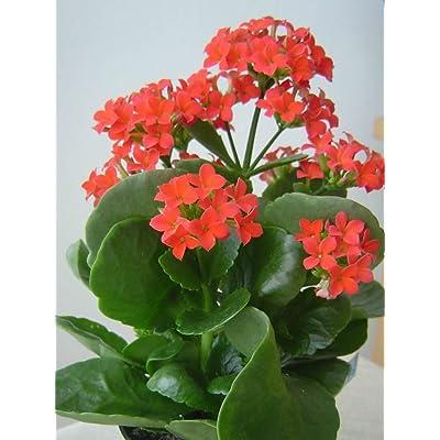 Kalanchoe aka Kalanchoe Blossfeldiana Live Plant - Indoor Live Plant Fit 4IN Pot : Garden & Outdoor