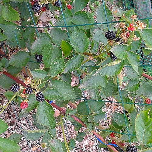 Murier grimpant sans /Ã/©pines Rubus fruticosus Dirksen