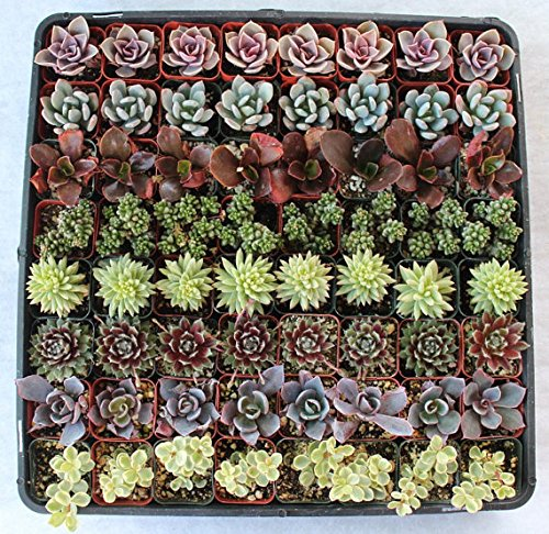 Jiimz Beautiful 96 Wedding Succulents Collection for Favors by JIIMZ Wediing Succulents (Image #2)