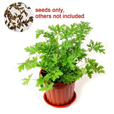 WskLinft400Pcs Citronella Plant Seeds Mozzie Buster Mosquito Repellent Garden Decor for Indoor and Outdoor All Seeds are Heirloom, 100% Non-GMO! Mozzie Buster Seeds : Garden & Outdoor