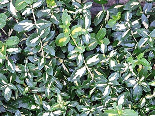 100 Stk. Kriechspindel 'Blondy' - (Euonymus fortunei 'Blondy')- Topfware 20-30 cm