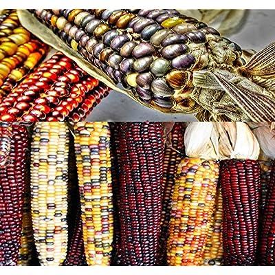 1 lb (1, 600+ Seeds) Indian Corn Seed - Oldest Varieties of Heirloom Corns - Non-GMO Seeds by MySeeds.Co (1 lb Indian Corn Mix) : Garden & Outdoor