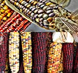 1 lb (1,600+ Seeds) Indian Corn Seed - Oldest Varieties of Heirloom Corns - Non-GMO Seeds by MySeeds.Co (1 lb Indian Corn Mix)