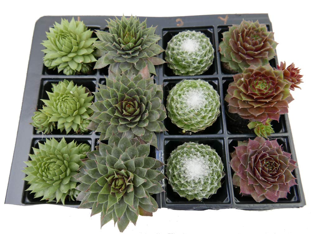 A Collection of 12 Sempervivum Plants 4 varieties house leeks