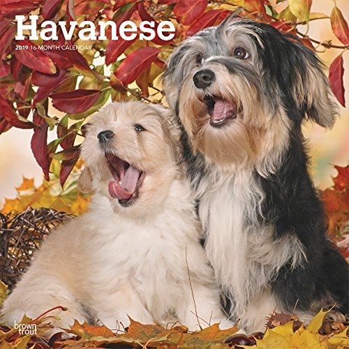 Havanese 2019 12 x 12 Inch Monthly Square Wall Calendar, Animals Small Dog Breeds