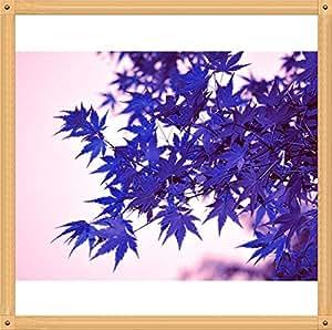 10PC Semilla Aqua Blue arce Raras. El color de las nuevas variedades de plantas Naturalmente crecido Bonsái forma de manera natural