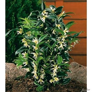 Duft-Fleischbeere -Sarcococca humilis- Kübel-Pflanze immergrün ...