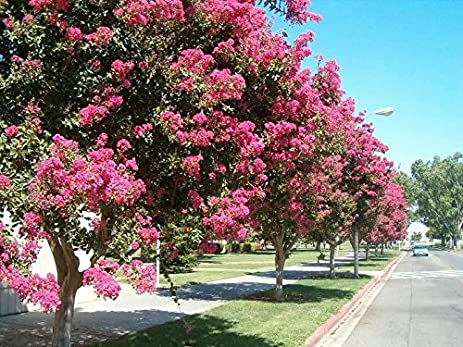 Amazon 35 dark pink crepe crape myrtle lagerstroemia bush tree 35 dark pink crepe crape myrtle lagerstroemia bush tree flower seedscomb sh mightylinksfo