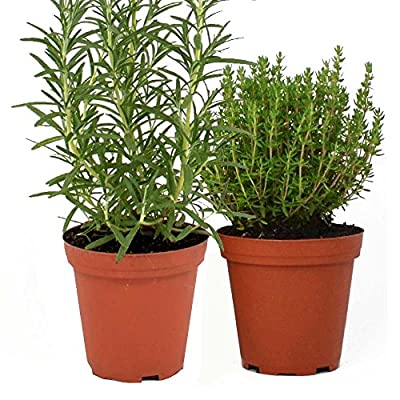 Live Rosemary and Thyme Plants - Set of 2 Hardy Culinary Herb Plants - Grown Organic Non-GMO USA Great Container Herbs Shipped Potted