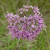 Everwilde Farms - 600 Prairie Onion Native Wildflower Seeds - Gold Vault Jumbo Seed Packet