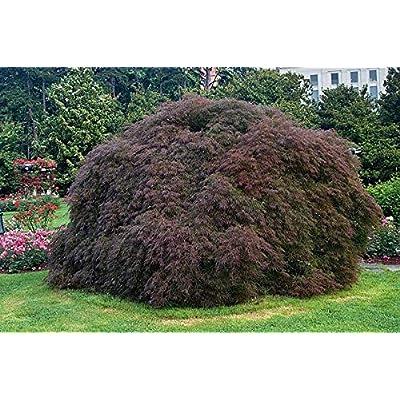 CRIMSON QUEEN WEEPING LACE LEAF JAPANESE MAPLE - Acer palmatum dissectum 'Crimson Queen' 2 - YEAR PLANT : Garden & Outdoor