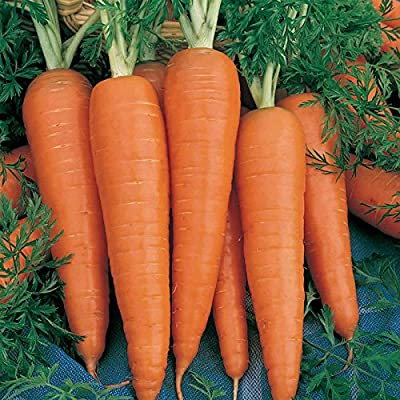 Danvers 126 Carrot Seeds - Non-GMO, Heirloom Vegetable Garden Seeds - Gardening, Microgreens