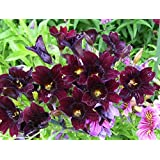 25 CHILEAN BLACK PAINTED TONGUE Salpiglossis Sinuata Paisley Flower Seeds *Flat Shipping