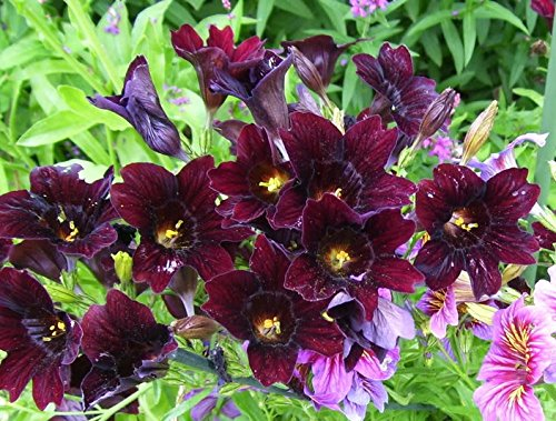 - 25 CHILEAN BLACK PAINTED TONGUE Salpiglossis Sinuata Paisley Flower Seeds