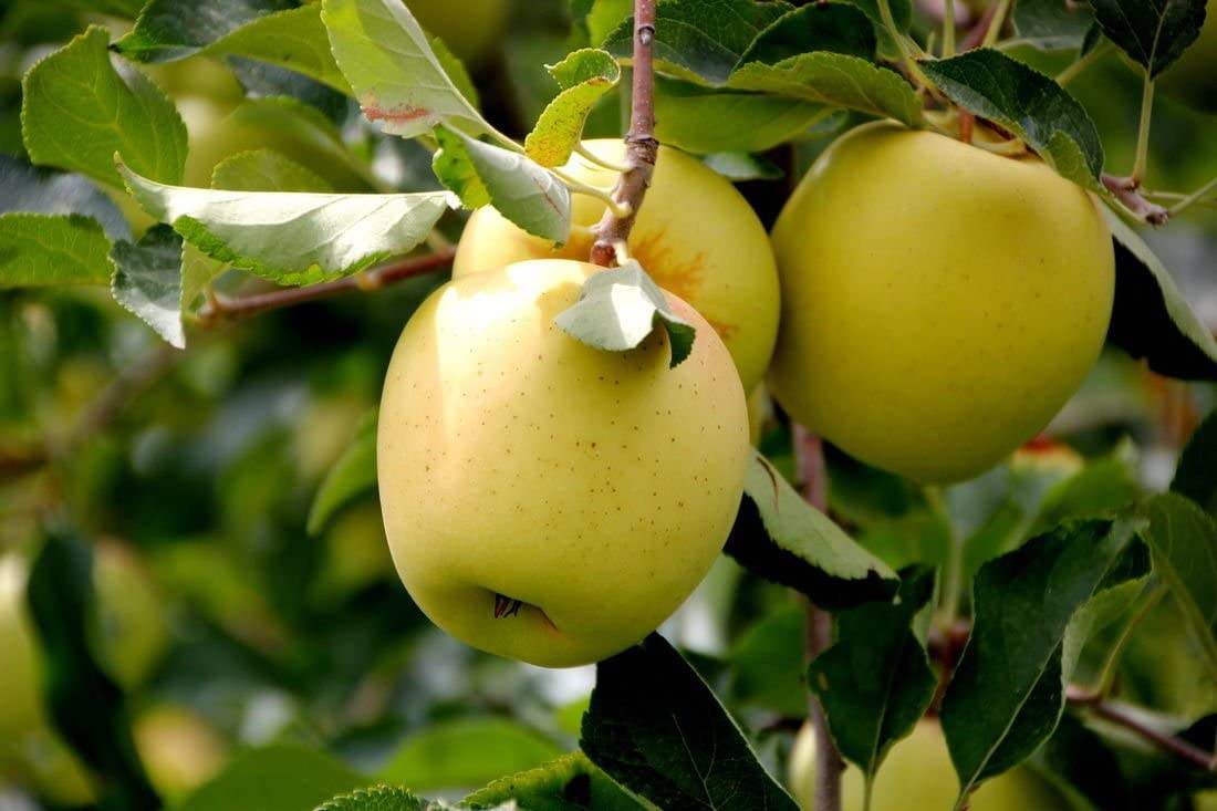 Apple Seeds 15 Golden Delicious Apple Seeds