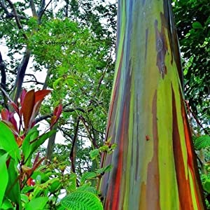 Eucalyptus Deglupta Mindanao Gum RAINBOW TREE Fresh 50+ Seeds 23