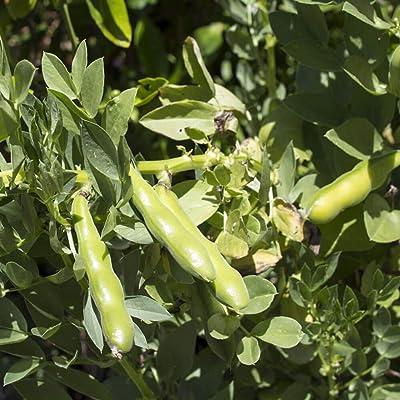 Outsidepride Fava Bean Cover Crop Seed - 1 OZ : Garden & Outdoor