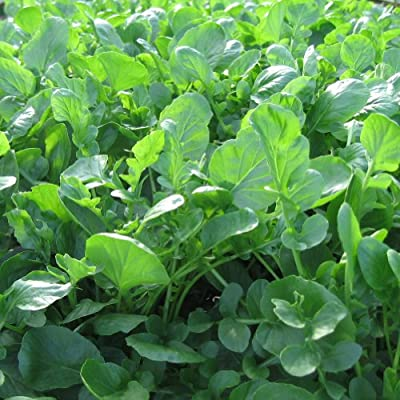 "Earthcare Seeds Upland Cress 1000 Seeds... ""Creacy Greens"" (Barbarea verna)"