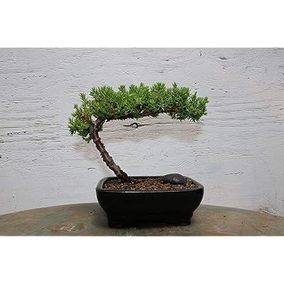 Classic Juniper Bonsai Tree: Garden & Outdoor