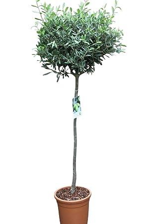 Gemeinsame Olivenbaum - Halbstamm - Gut angewachsene Pflanzen. Tragen dieses &KK_11