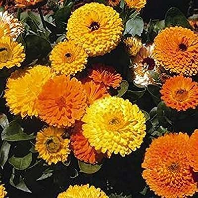 Calendula Pot Marigold- Mix Colors- 100 Seeds : Garden & Outdoor