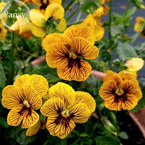New Viola Tiger Eye Pansy Flowers, 20+ -