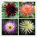 Dahlia Cactus Mix 25 seeds