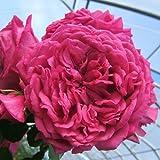 Laguna® ADR Rose Kletterrose