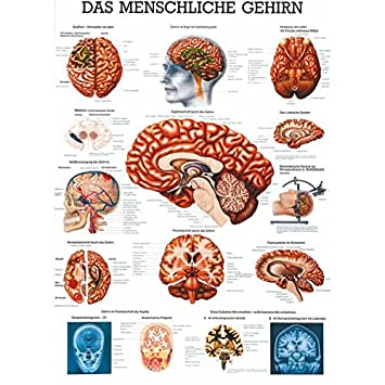 Das gehirn Lehrtafel Anatomie 100x70 cm medizinische Lehrmittel ...
