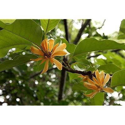 5 Seeds Joy Perfume Tree Rare Magnolia Family Stunning Orange Blossom Aromatic Blooms All Year Container Gardening Michelia Champaca : Garden & Outdoor