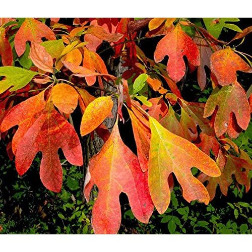 Sassafras's most distinctive trait is its array of bright green leaves,  which may have a