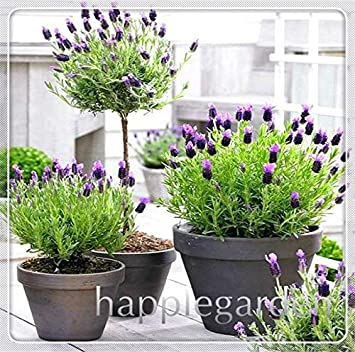 100pcs Bonsai Lavender Seeds Herb Seed Garden Balcony Potted Four Seasons Flower