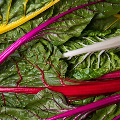 David's Garden Seeds Swiss Chard Rainbow