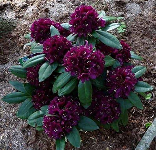Amazon Com Rhododendron Polarnacht Dark Dark Purple Blooms