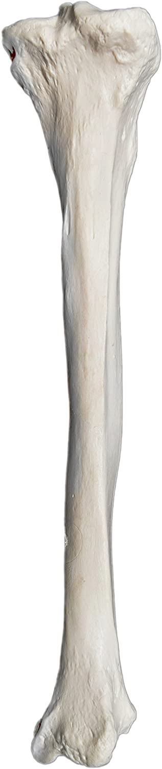 Tibia Bone Model - Right - Anatomically Accurate Human Tibia Bone Replica - hBARSCI