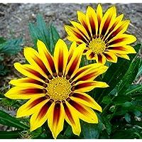 Treasure Flower, mix di semi Gazania - Gazania rigens - 75 semi - 75 semi