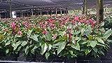 Anthurium spp. - 1 Gallon Live Plant - 4 pack