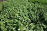 POND PLANT, AQUATIC MINT, LARGE LEAF (3 live plants)