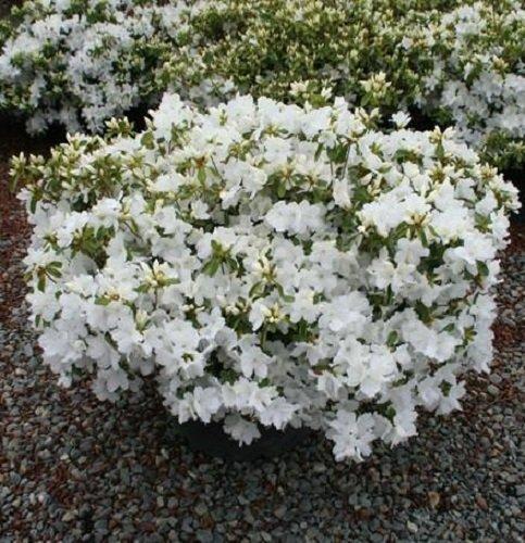 Amazon gumpo white dwarf azalea trade gallon garden outdoor mightylinksfo