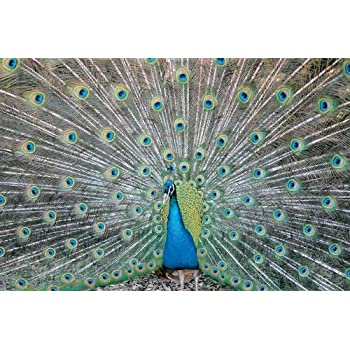 peacock wrapping paper The gift wrap company  that's why our complete line of wrapping paper, bags, boxed cards, and embellishments is packed full of color and character and our .