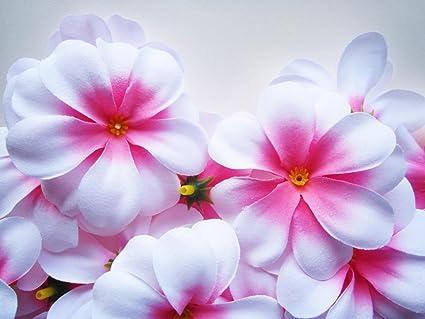Amazon.com: (24) White Pink center Hawaiian Plumeria Frangipani Silk ...