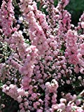 "H.E. Beale Scotch Heather - Calluna vulgaris - Hardy - 2.5"" Pot"