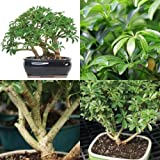 Bonsai Dwarf Hawaiian Umbrella Tree Plant Garden Houseplant Indoor Best Gift NEW